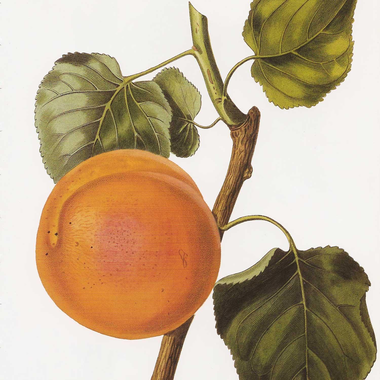 Blume Marillen Apricot Eau-de-Vie